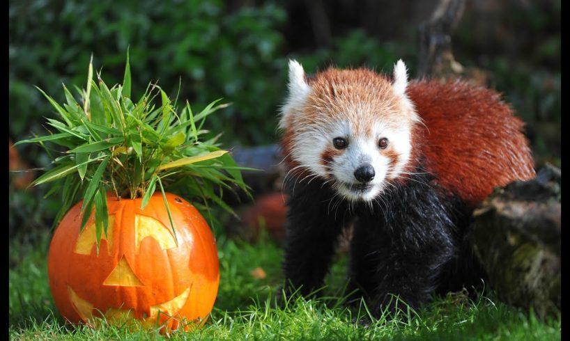 Animals at Chester Zoo get a Halloween pumpkin treat