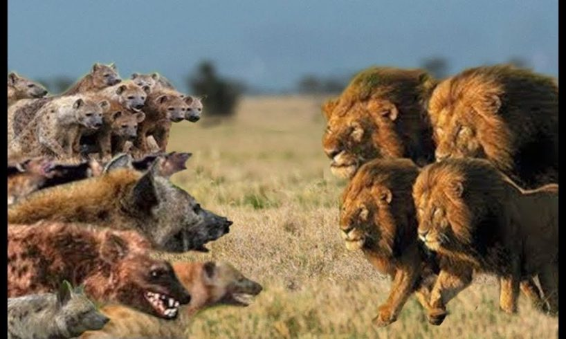 BEST Lion vs Hyena Real Fight! Hyena Lion Attack Hunting Fight!