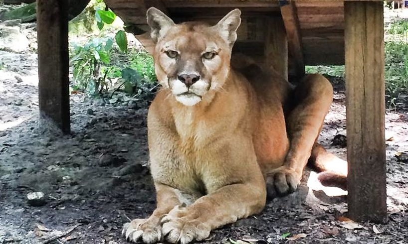 Cougar Rescued from Backyard Zoo!