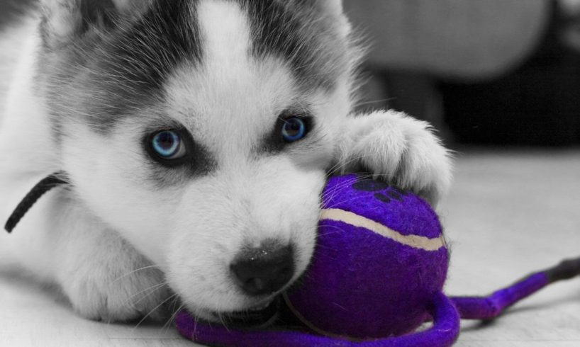 Cute Husky Puppies Doing Funny Things! Cutest Husky Puppies Compilation