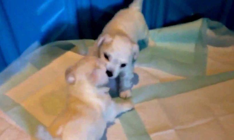Cute Puppies Wrestling