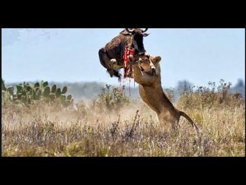 Elephant Kill Buffalo Real Fight Wild Animal Fights   Animals Attack