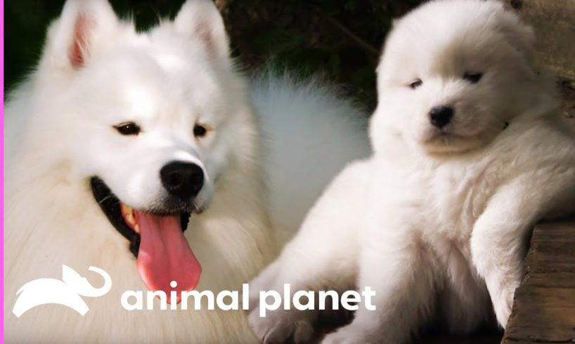 Fussy Samoyed Puppy Makes An Unlikely New Best Friend   Too Cute!