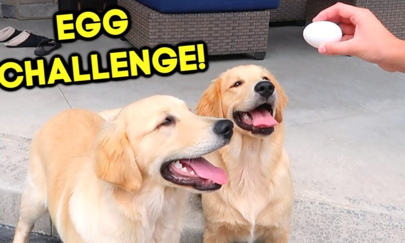 GOLDEN RETRIEVER PUPPIES TRY THE EGG CHALLENGE!