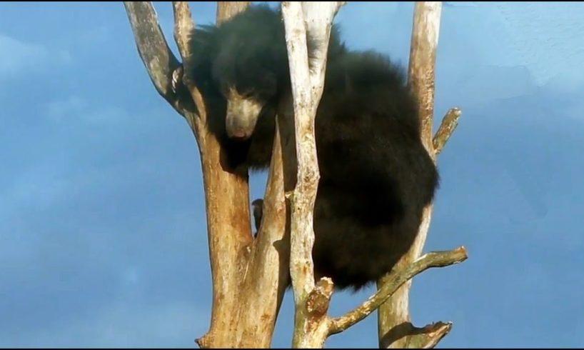 Junge Bären beim Spielen  Black Bears playing Cute Animals