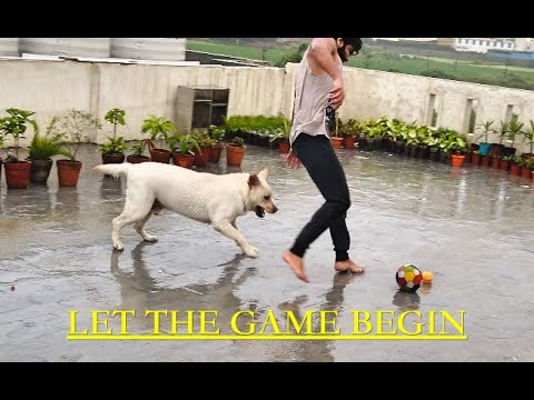 Labrador Dog Playing Football and Rugby in Rain As Summer Ends.