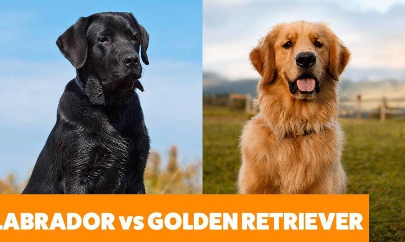 Labradors vs Golden Retrievers - Pet Guide | Funny Pet Videos