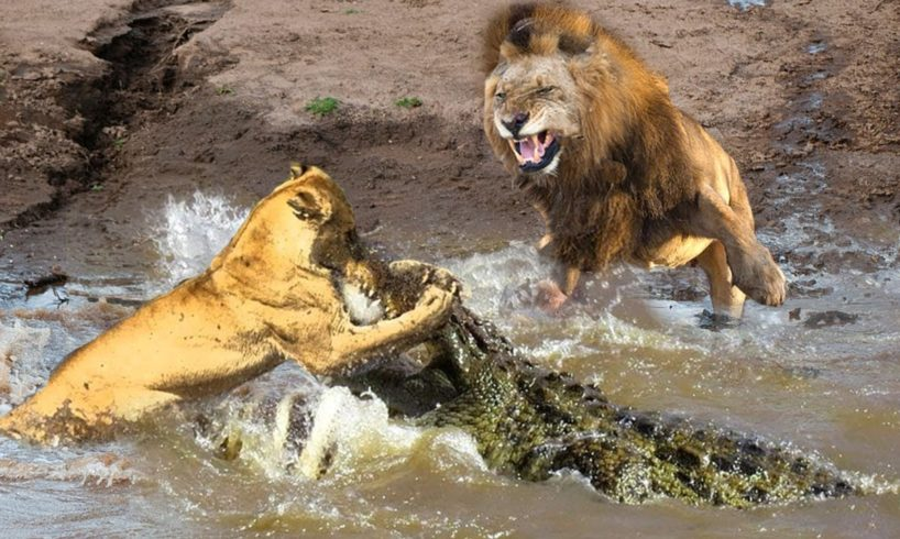 Losing His Wife, Male Lions Fight With Crocodiles To Rescue Him Successfully