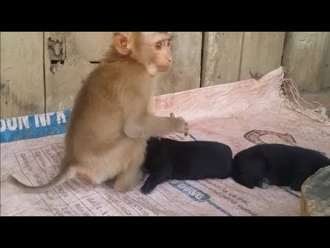Love Of Animals - Baby Monkey Loves And Cuddles Newborn Puppies
