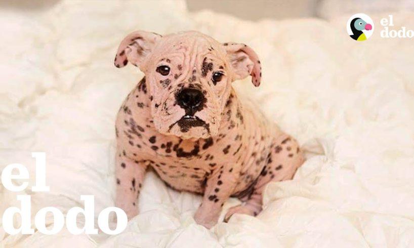 """Perrita bulldog """"desnuda"""" pasa por una transformación increíble   El Dodo"""