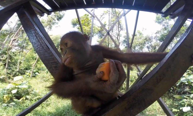 Rescued baby orangutans enjoy a treat on International Orangutan Day