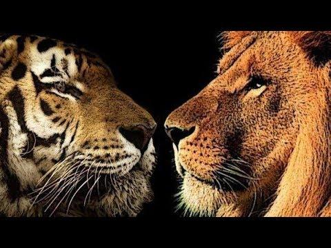 Tige Vs Lion Fights - wild animal fight amazing video