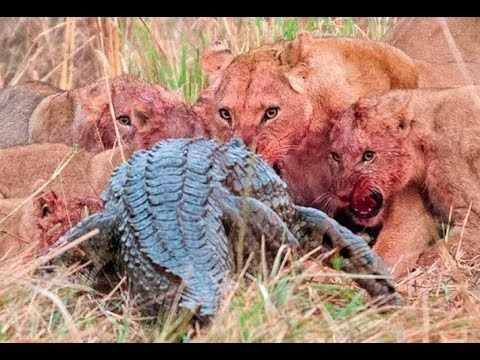 Top 10 Craziest Animal Fights Caught On Camera Part 3 Lions attack
