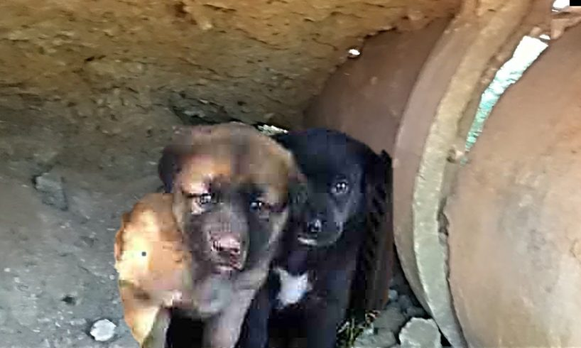 Two Scared Puppies Rescued from a Drain Pipe Will Your WarmHeart