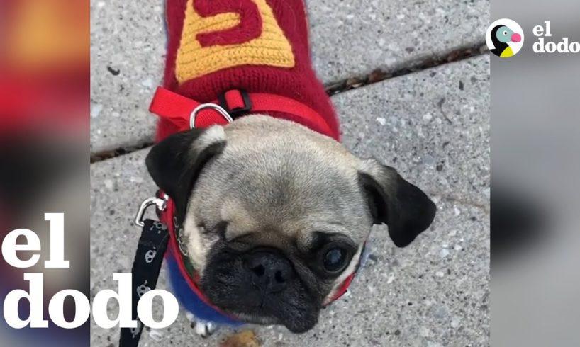 Una comunidad se une para salvar a un pequeño perrito pug | El Dodo