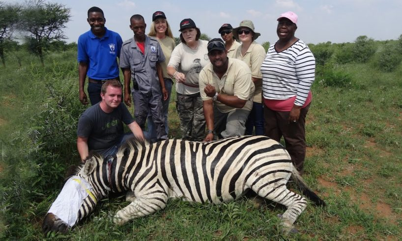 Zebra Saved From Deadly Snare Hold