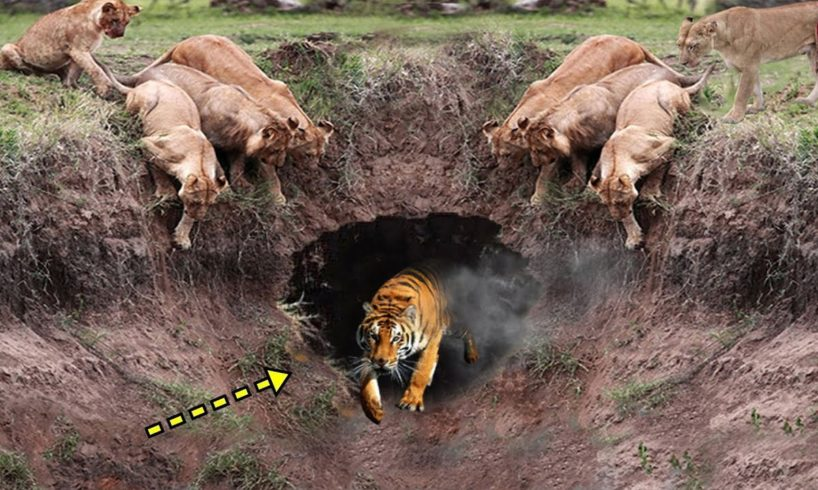 Big Battles #2: Which is Stronger? King Lion vs Tiger?   Facts About