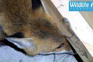 Fox inside a Coffee Machine - Animal Rescue
