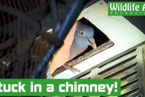 Mystery visitor rescued from house chimney! - Animal rescue