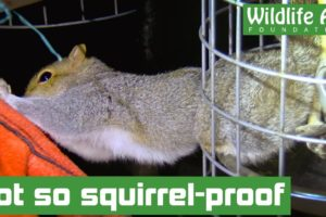 Squirrel trapped in 'squirrel-proof' bird feeder! - Animal rescue