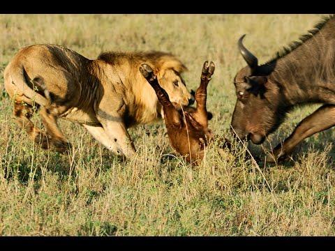 10 CRAZIEST Animal Fights Caught On Camera | Top 10 Lion vs Buffalo | AMAZING WILD ANIMAL ATTACKS