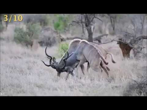 10 Incredible Wild Animal Dangerous  Fight Caught on Camera