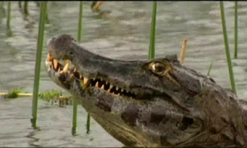Anacondas and Caimans : Duel Deep in the Marshes - animal fights (english version)