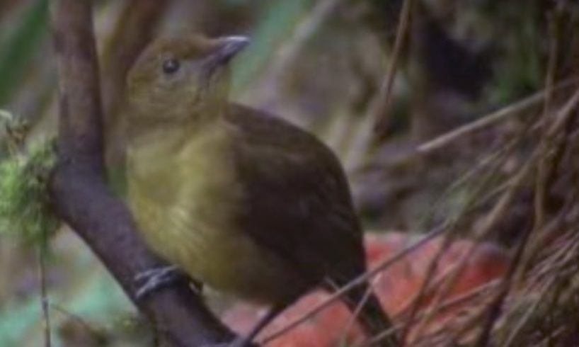 Animal Behaviour of the Australian bowerbird | David Attenborough | BBC wildlife