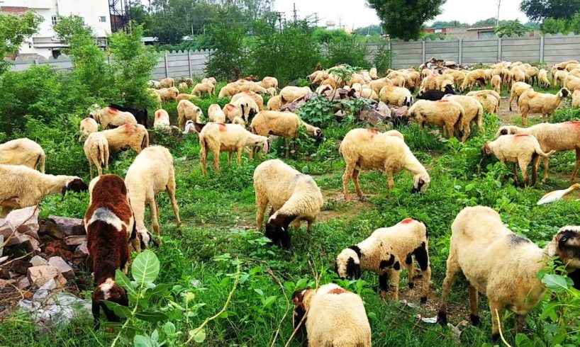 Animals Video for Children   Farm Animals for kids   Goat and Sheep with Shivay Childhood