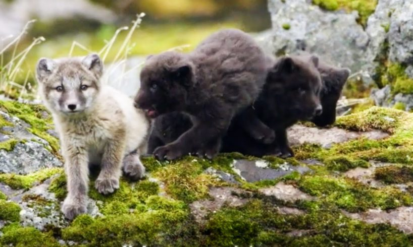Baby Arctic foxes and other European animals | Top 5 | BBC Earth
