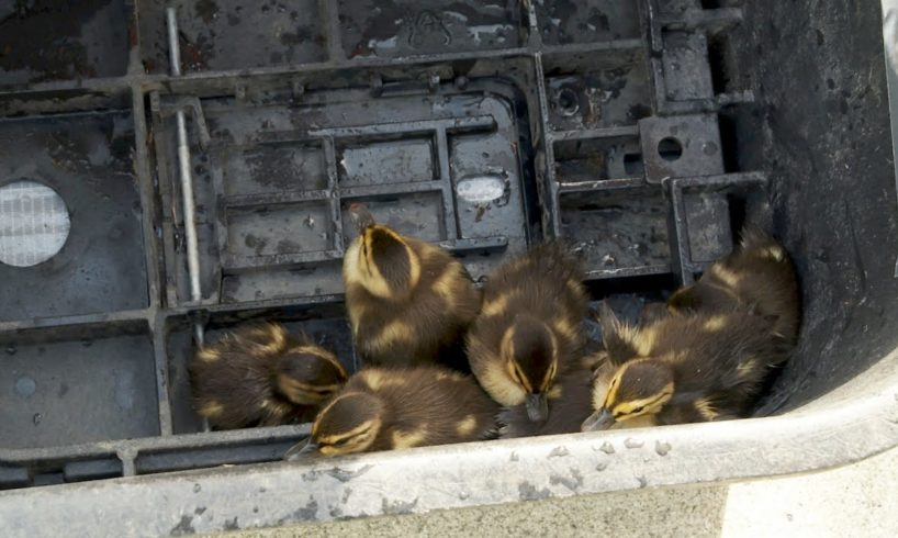 Baby Ducks Rescued from Storm Drain