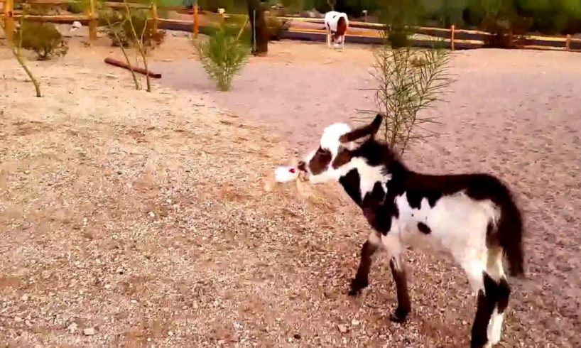 Baby miniature donkey plays with a teddy bear [cute animals doing funny things] cutest animals ever
