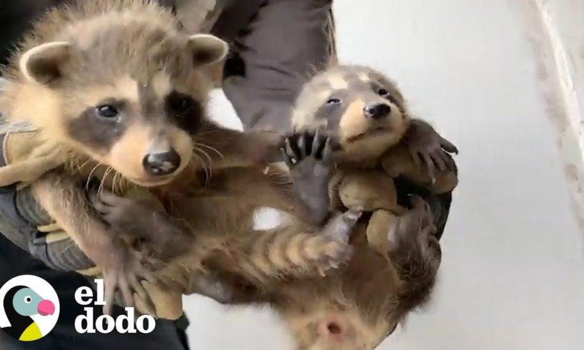 Bebés mapaches adorables quedan estancados tras una pared | El Dodo