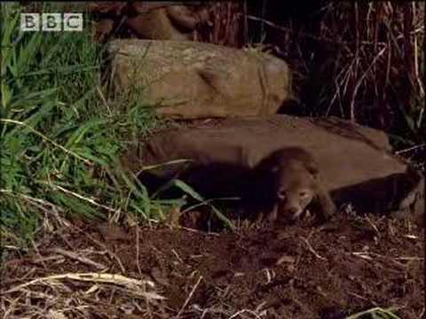 Coyote cub singing - BBC wildlife