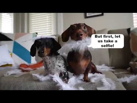 Cute Dogs - Funny Dogs - Cute Puppies
