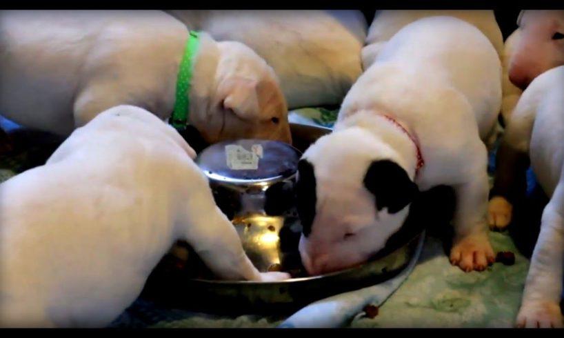 Cute bull terrier puppies first taste of meat - weaning adorable bull terrier puppies