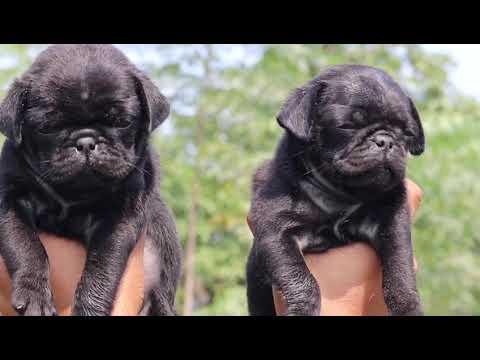 Cute puppies of Black pug call 7275863266 / 9140752208