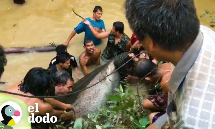 Docenas de personas se unen para salvar a este ENORME pez en peligro de extinción | El Dodo
