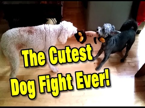 Dog Fight / Two Cute Puppies Fighting Over a Toy - A Real Mad Max Tug of War Battle!