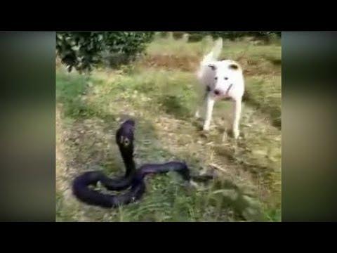 Dog vs Snake - Amazing Animal Fights   Lần Đầu Channel