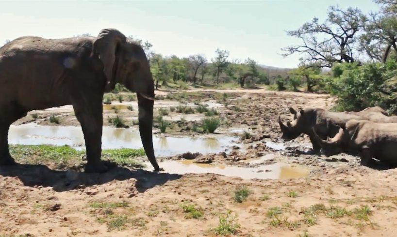 Elephant  Vs 5 Rhino Kruger Park Animal Fights