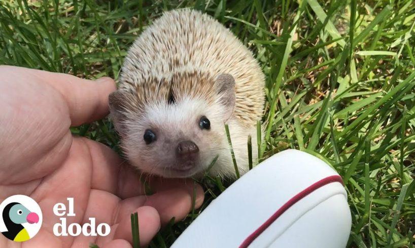 Este pequeño erizo ama las caricias | El Dodo