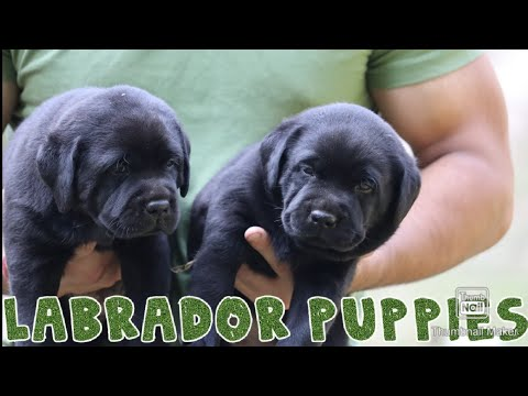 Funny And Cute Labrador Puppies Compilations 2019 || SCOOBERS