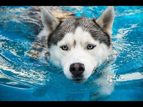 Funny Animals - Funny Dog Videos - Funny Dogs Swimming in Pool Compilation 2016