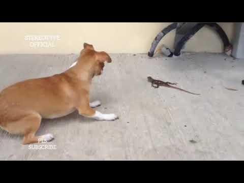 Funny Fight Video Between Dog & Lizard In Warri • HD VIDEO