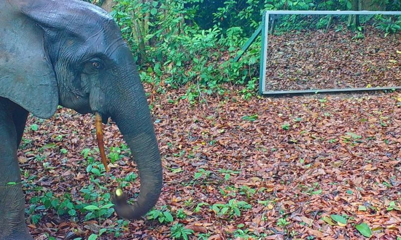 In the Gabonese jungle many wild animals visit a large mirror: Is this out of curiosity or?