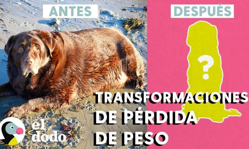 Las 5 mejores transformaciones de pérdida de peso de perros   El Dodo