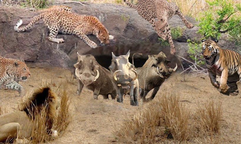 Leopard, Lion, Cheetah, Tiger Waiting Warthog Outside The Hole