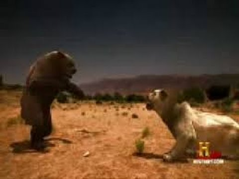 Lion vs Bear Real Fights to Death   Animal Fight   Amazing Must Watch