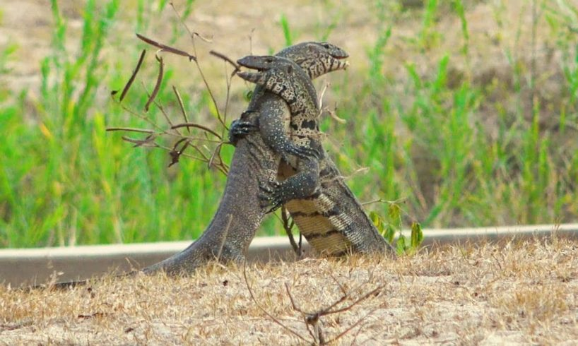Monitor Lizards In Vicious Battle